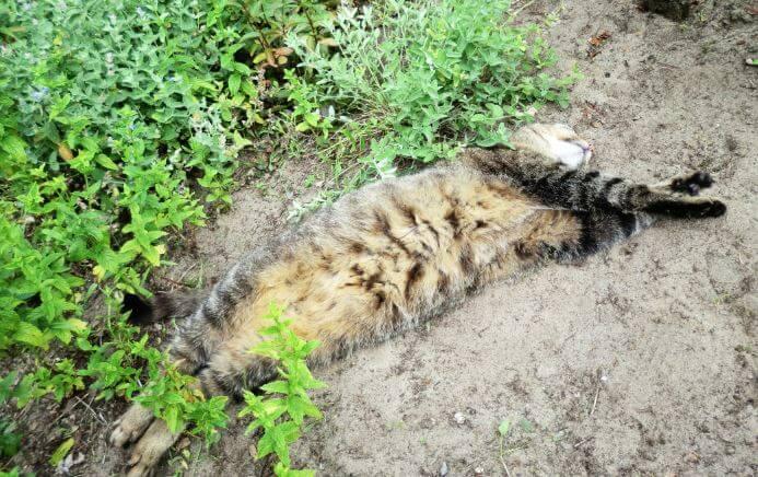Кот в кустах Nepeta cataria