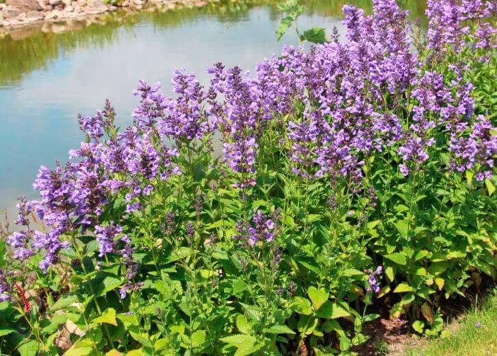 Nepeta cataria возле ручья