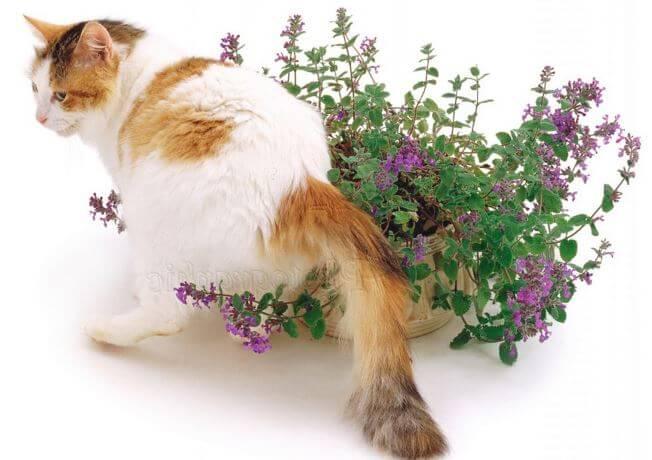 Котовник кошачий фото