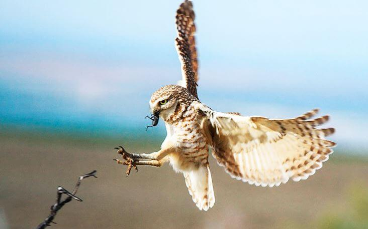 Удачная охота кроликовой совы