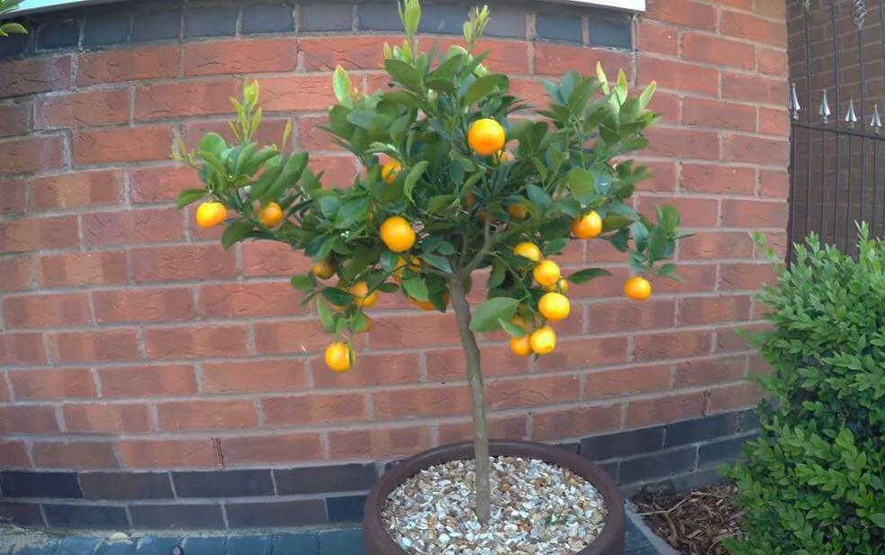 Выращивание  мандаринового дерева в вазоне