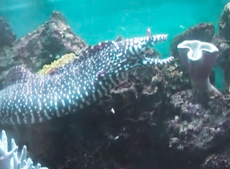 murena drakon na rife Мурена дракон