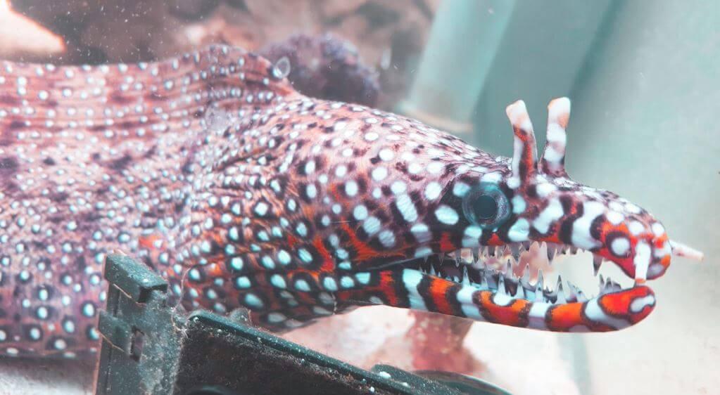 Мурена-дракон в аквариуме
