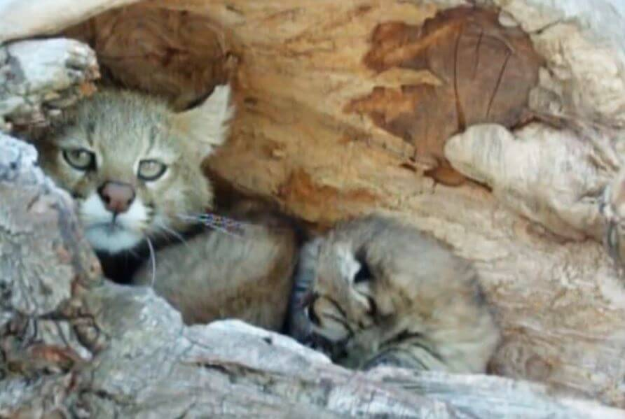 Самка пампасской кошки
