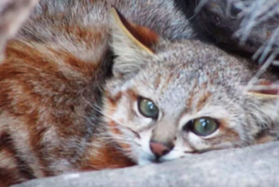 Убежище Пампасской кошки