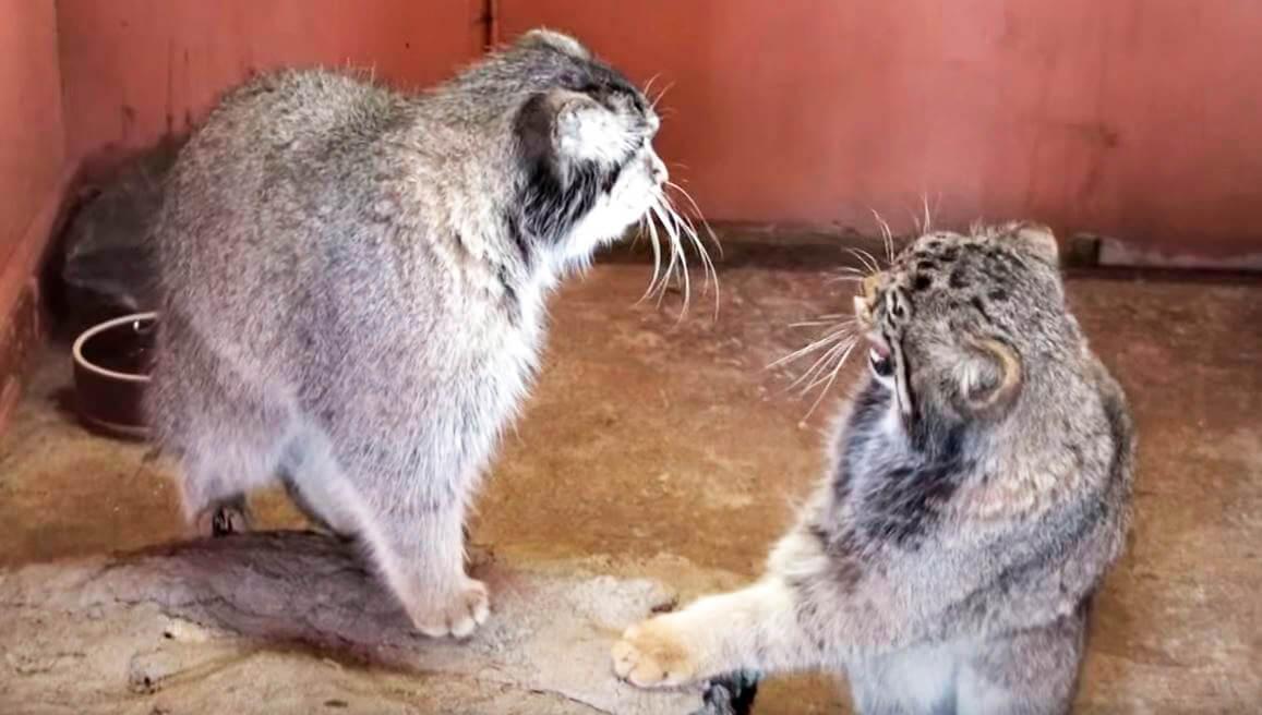 Рассерженная пампасская кошка