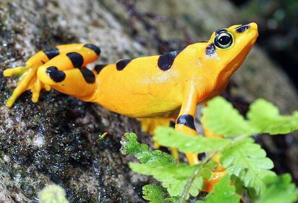 panamskaya zolotaya lyagushka Панамская золотая лягушка