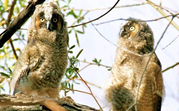 Пара ушастых сов