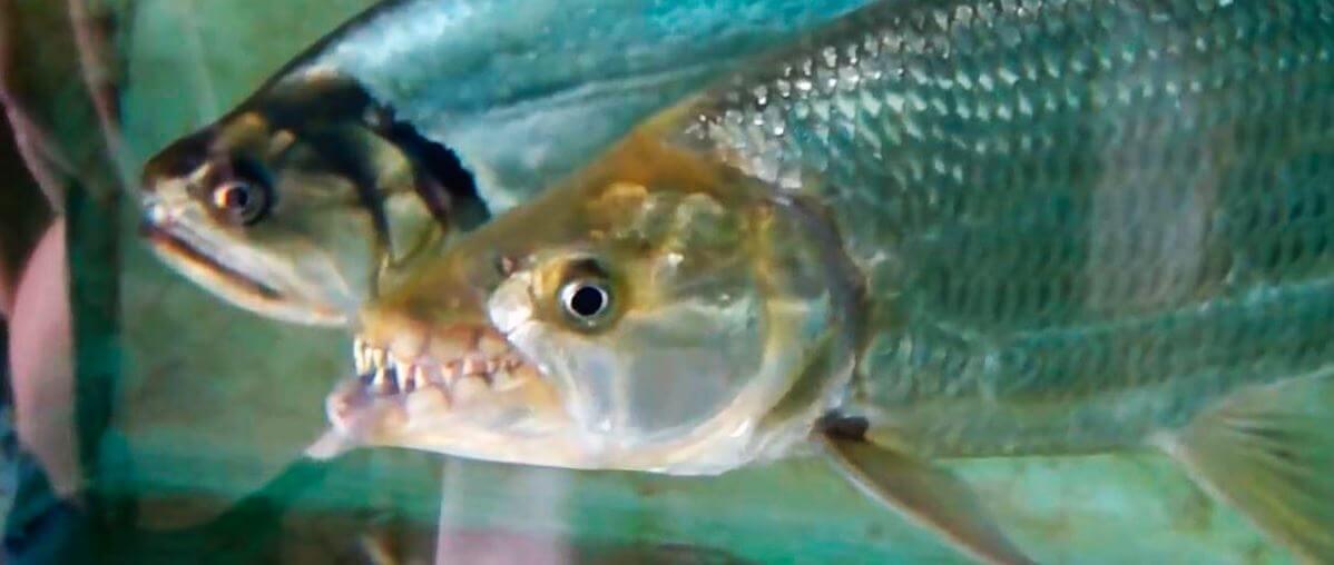 Охота рыбы голиаф