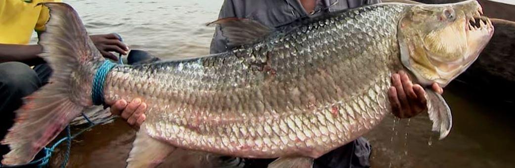 poymanaya bolshaya tigrovaya ryba Большая тигровая рыба