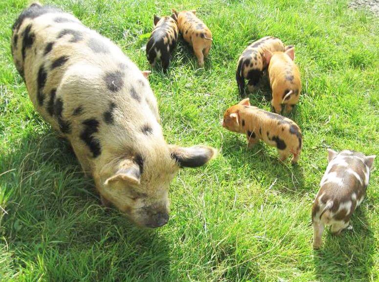 Пастбище для свиней кун-кун
