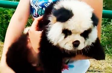 Чау-чау панда