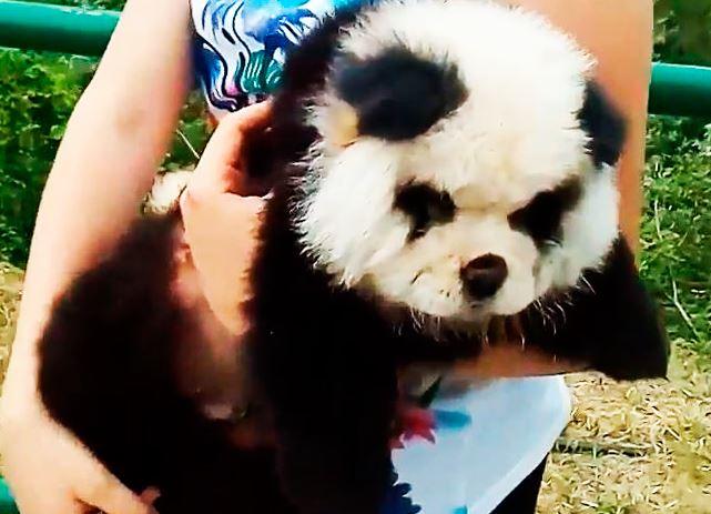 Чау-чау панда фото
