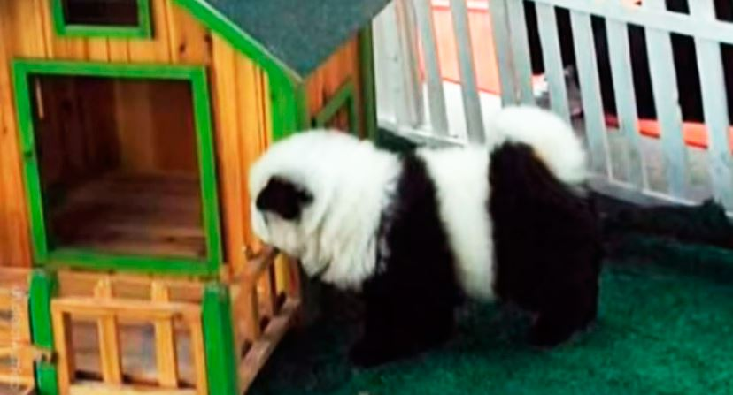 Использование Чау-чау панды в цирке