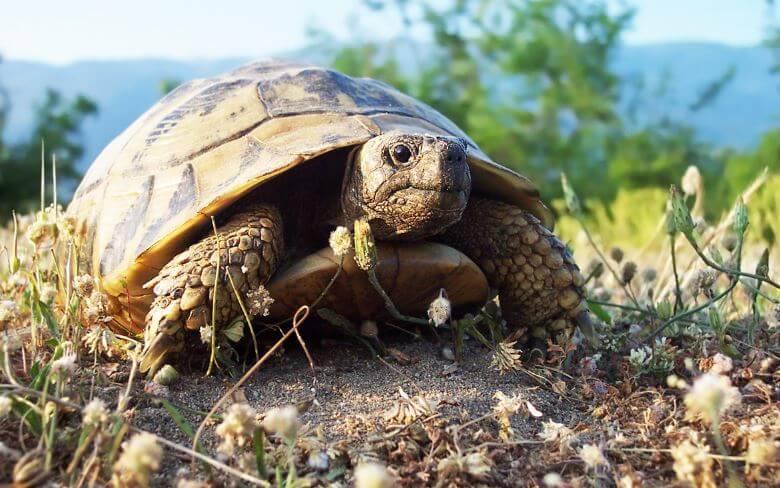 Прогревание на солнце среднеазиатской черепахи