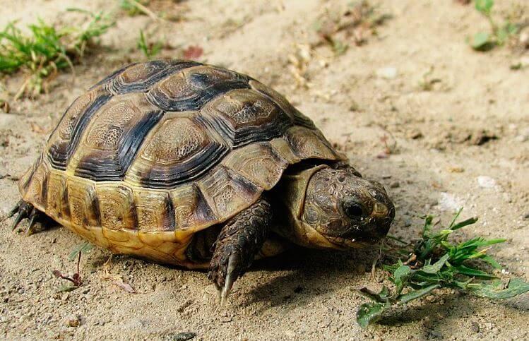 Среднеазиатская черепаха ищет пропитание