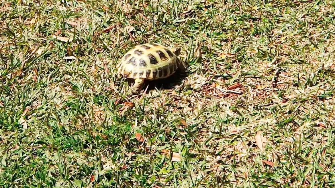 Огромные угодья среднеазиатской черепахи