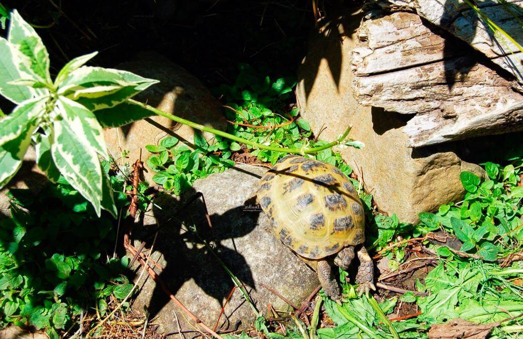 содержание среднеазиатской черепахи в домашних условиях