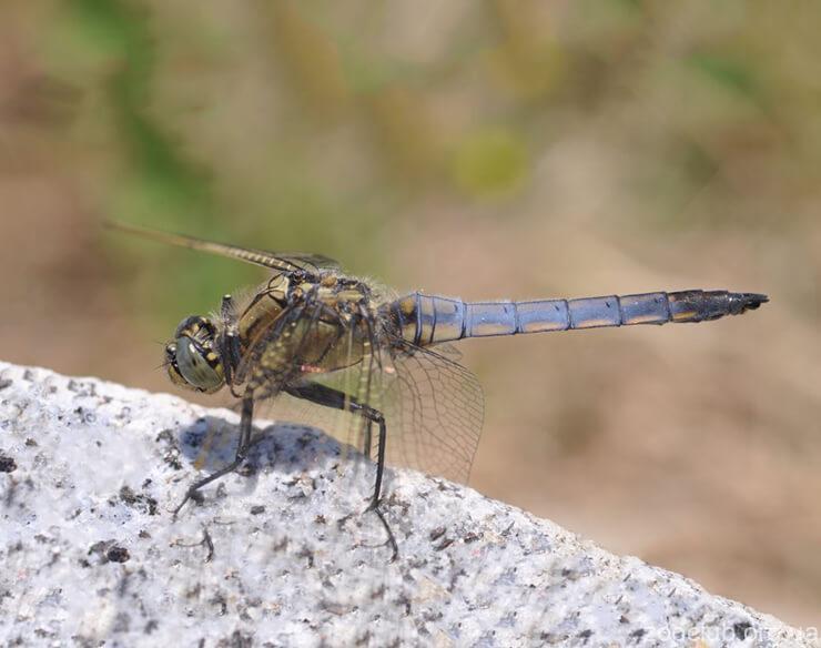 Фото голубой стрекозы