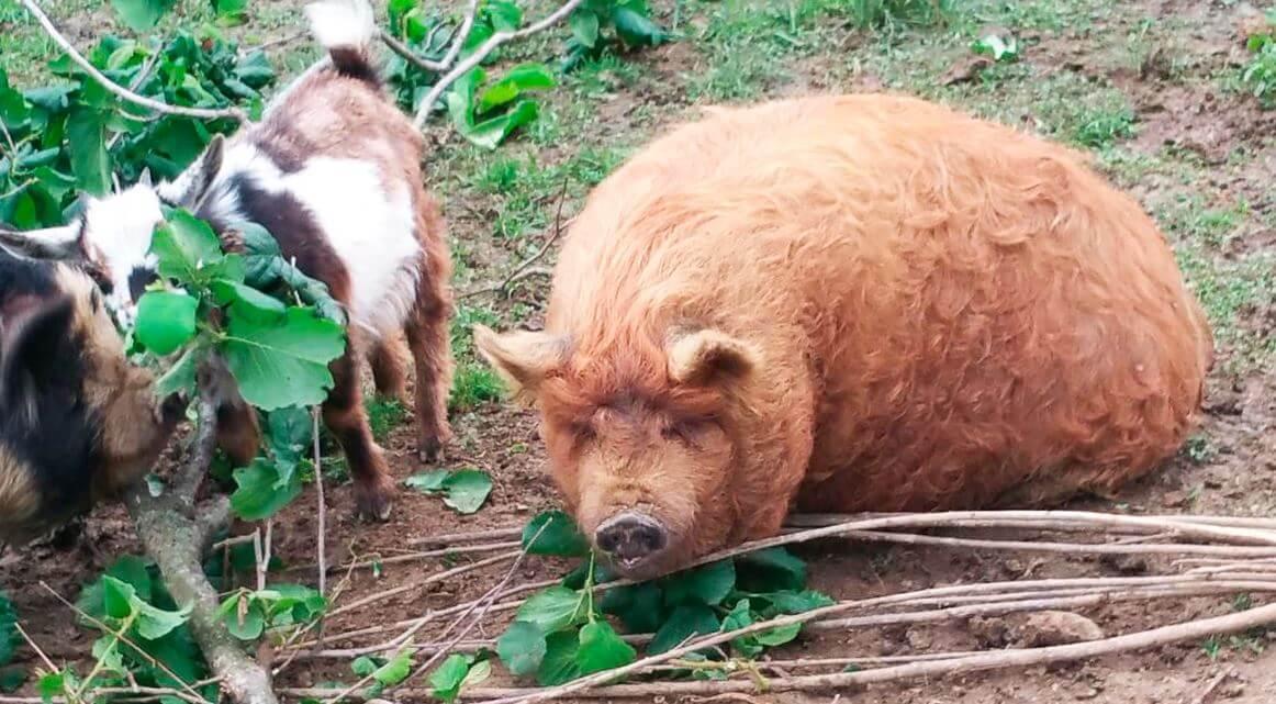 Свинья кун-кун в обществе козы
