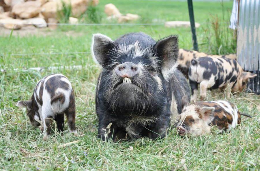Семейство свиньи кун-кун