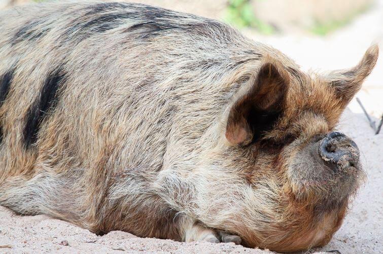 Свинья кун-кун фото