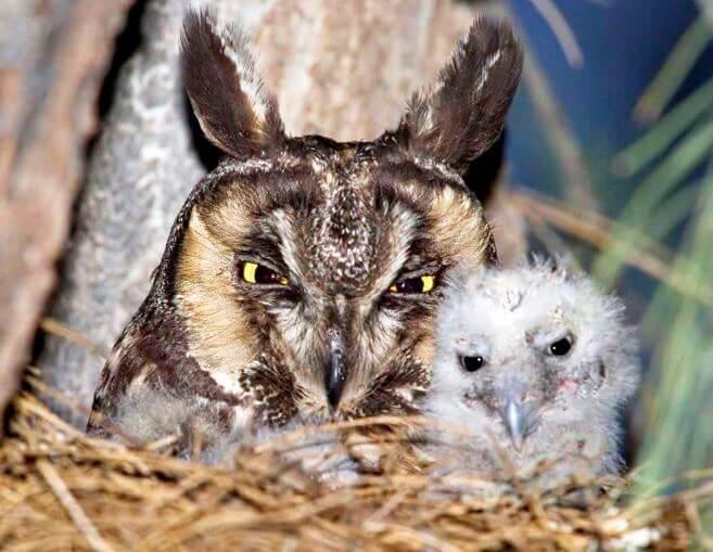 Семья ушастой совы