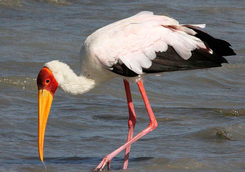 Внешний вид Mycteria ibis