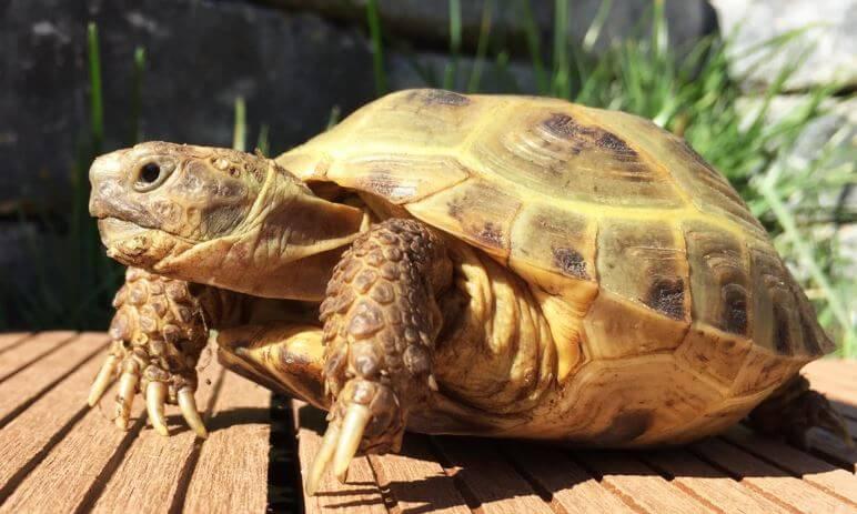 Какртинк со среднеазиатской черепахой