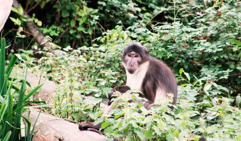 Дымчатый мангобей фото