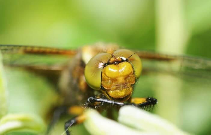 Глаза плоской стрекозы