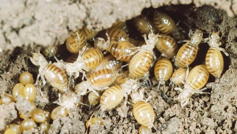 Личинки капустянки