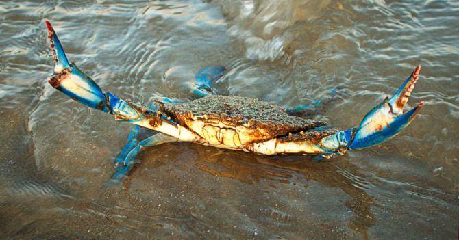 Появление из воды голубого краба