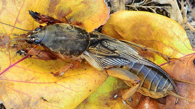 картинка с капустянкой обыкновенной