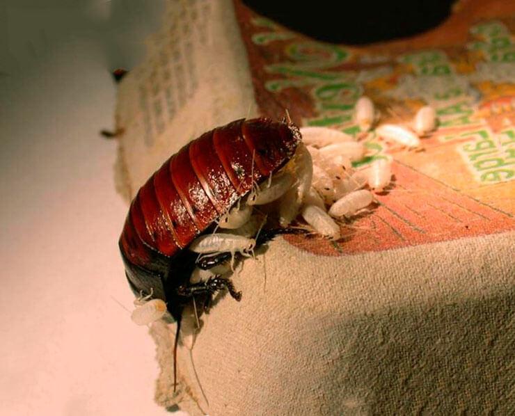 Картинка с мадагаскарским шипящим тараканом