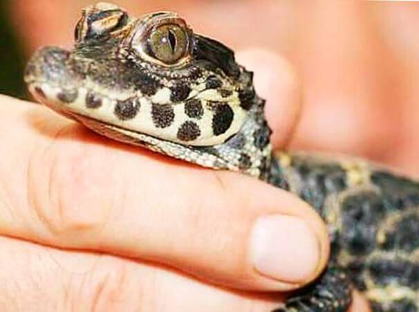 Детёныш тупорылого крокодила