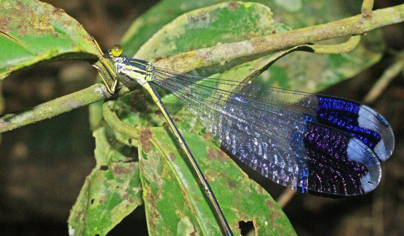 Megaloprepus caerulatus