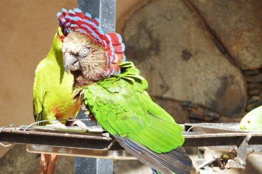 Содержание в домашних условиях веерных попугаев
