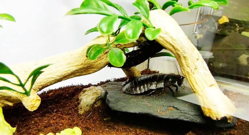 Содержание в домашних условиях мадагаскарских шипящих тараканов