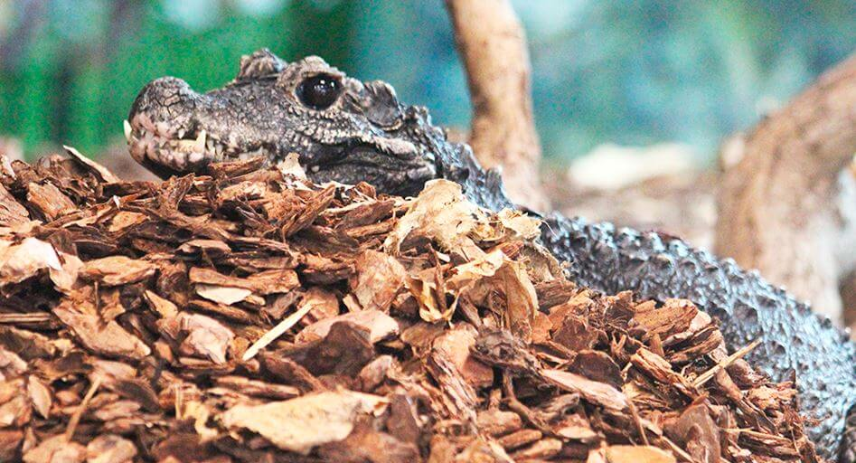 Прогулка по листьям тупорылого крокодила