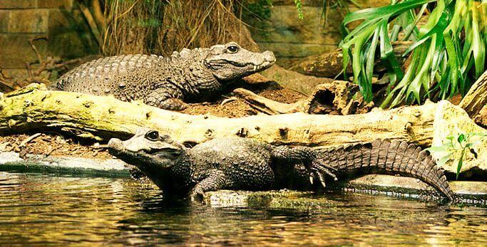 Тупорылый крокодил фото
