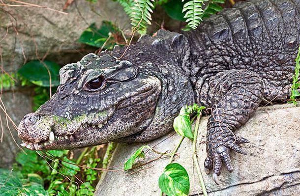 tuporylyy krokodil Тупорылый крокодил
