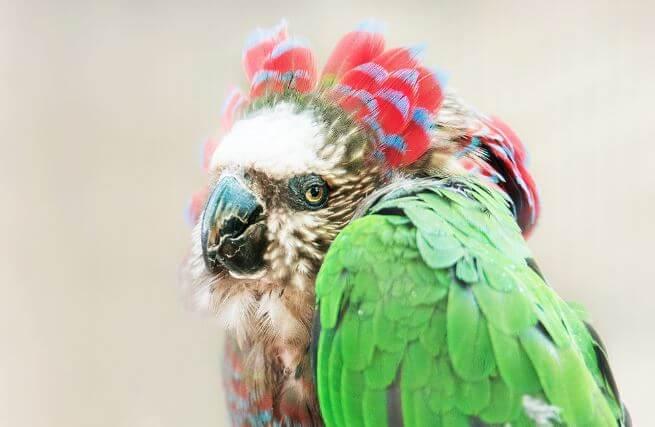 veernyy popugay Веерный попугай