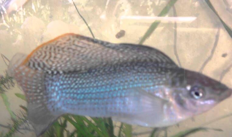 Содержане в аквариуме парусной моллинезии