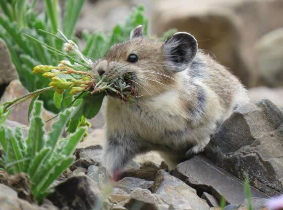 Пучок травы в зубах американской пищухи