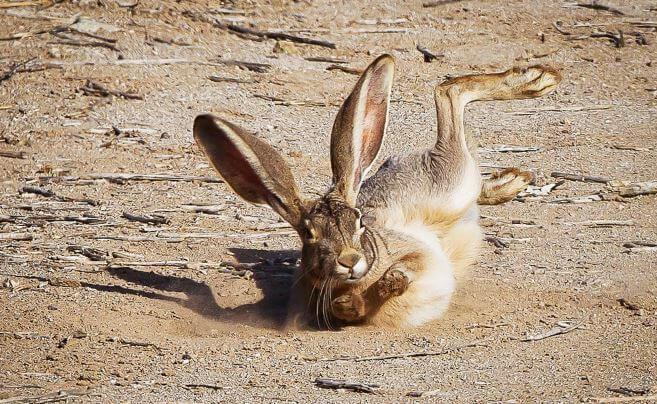 Приземление антилопового зайца