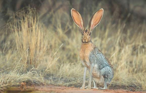 Антилоповый заяц фото