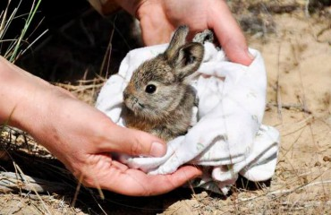 Кролик айдахоський, або кролик-пігмей