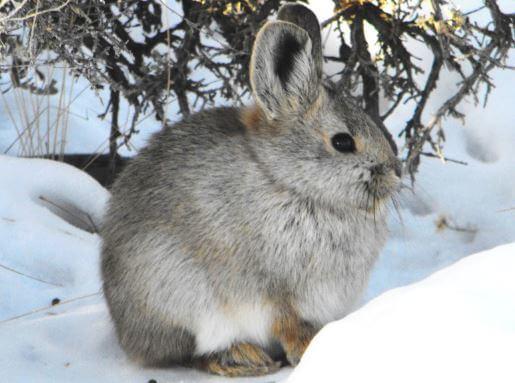 Айдахский кролик фото