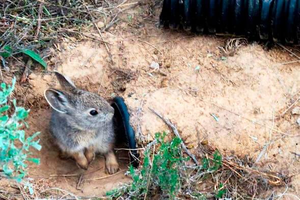 Норка айдахского кролика